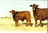 Cumberland Cow and Calf