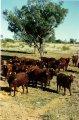 Cumberland Cattle